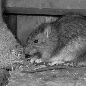 Rat Poison & Rodenticide